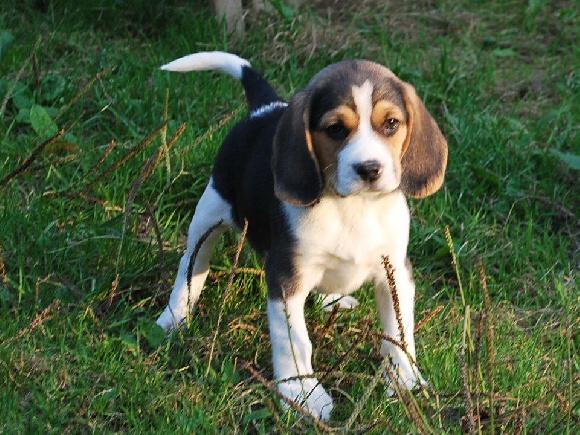 Elevage de la ferme dranseb eleveur de chiens beagle - Chien beagle adulte ...